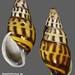 amphidromus sp3 indonesie timor soe 34mm1