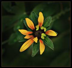 Late summer bloom (ronramstew) Tags: summer flower birchmoor stmichaels liverpool merseyside bloom olympus60mmf28