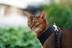 Lizzie (DizzieMizzieLizzie (Down for a while)) Tags: abyssinian aby lizzie dizziemizzielizzie portrait cat feline gato gatto katt katze kot meow pisica sony neko gatos chat fe ilce 2018 ilce7m3 a7iii pose classic pet fool golden bokeh dof animal zeiss planar t 50mm f14 za grass