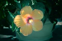 georgia o'keefe: visions of hawaii, 8/9/18 (hollow sidewalks) Tags: nyc bronx nybg newyorkbotanicalgarden newyorkcity botanicalgardens flowers flower plant plants hollowsidewalks