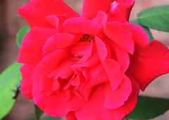 DSC_0746 (PeaTJay) Tags: nikond750 sigma reading lowerearley berkshire macro micro closeups gardens outdoors nature flora fauna plants flowers rose roses rosebuds
