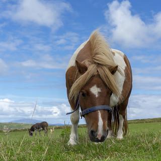 Giant Irish mini horse