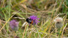 Red-tailed bumblebee on greater knapweed (Dave_A_2007) Tags: bee bumblebee flower insect knapweed nature plant wildlife rollrightstones warwickshire england
