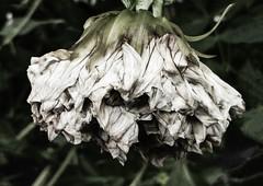 Dahlia Decay (Steve Taylor (Photography)) Tags: green muted newzealand nz southisland canterbury christchurch northnewbrighton texture flower dahlia petals foliage