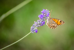 Butterfly on a lavander (j2psphoto) Tags: butterfly lavander marco macrophotograpy flower animal summer sun color canon 5d markiv 5dmarkiv