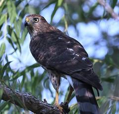 Cooper's Hawk, Accipiter cooperii (Dave Beaudette) Tags: birds coopershawk accipitercooperii sweetwaterwetlands tucson pimacounty arizona