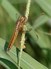Frecciarossa (crocothemis erythraea) (Paolo Bertini) Tags: libellula dragonfly frecciarossa crocothemis erythraea stagno baccoli peschera garda verona