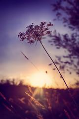D'or et de lumière (Weblody) Tags: soleil matinal épi lumière poésie violet dordogne matin douceur or