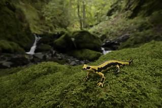 Salamandra salamandra fastuosa, vallée de Lesponne.