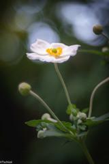 first appearance (Tschissl) Tags: garden garten austria leoben location vintagelens trioplan28100 steiermark österreich