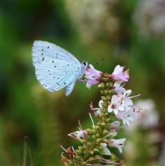 Holly Blue (John_E1) Tags: hollyblue butterfly celastrina argiolus closeup flower blue insect animal garden uniflona smileonsaturday wpg