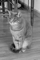 Millie 17 August 2018 0675Rif (edgarandron - Busy!) Tags: millie graytabby cat cats kitty kitties tabby tabbies cute feline