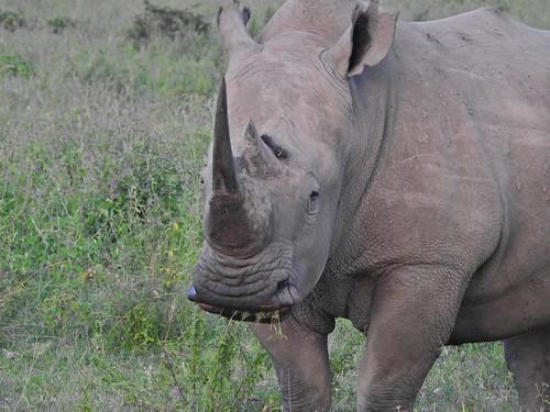9980ex  White Rhino portrait