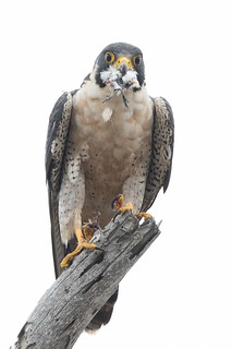 Peregrine Falcon eating a Western Sandpiper