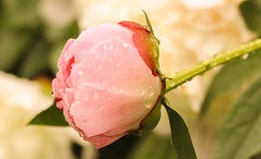 Peony from the Centuries (Emma Nyyssönen) Tags: flower humid moist peony genus paeonia