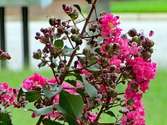 Crape Myrtle Blossoms. (dccradio) Tags: lumberton nc northcarolina robesoncounty outdoor outside outdoors nature natural sunday afternoon summer summertime august crepemyrtle crapemyrtle flower floral flowers flowering floweringtree tree bloom blooming blossom blossoms grass lawn greenery yard ground road street pavement paved curb bokeh canon powershot elph 520hs