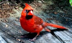 DSC_0395 (RachidH) Tags: birds oiseaux snow cardinal redbird northerncardinal cardinaliscardinalis cardinalrouge sparta nj rachidh nature