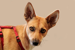 Kiki (K.Verhulst) Tags: kiki dog hond pet huisdier podenco coth5