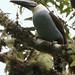 Black-billed Mountain-Toucan, Andigena nigrirostris_199A3138