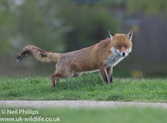 Fox-3 (Neil Phillips) Tags: canidae carnivora mammalia vulpini canine fox mammal red redfox vulpes