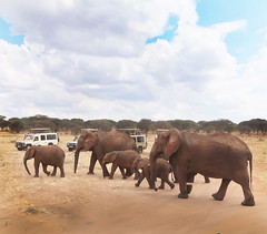 """Don't Mind the Tourists, Kiddies ..."" (JFGryphon) Tags: tarangirenationalpark tanzania elephants elephantbabies toyotalandcruiser tourists oblivious"