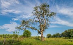 pear-tree (03) (Vlado Ferenčić) Tags: preartree pear trees vladoferencic podravina vladimirferencic hrvatska croatia nikond600 tamron247028 sky novovirje grkine