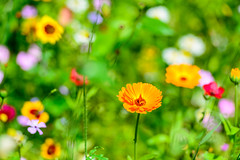 Wild Flowers (George Plakides) Tags: wildflowers itzehoe bokeh summer