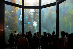 Kelp Forest at Monterey Bay Aquarium, Monterey, California, USA (takasphoto.com) Tags: altacalifornia america aquarium aquaticanimals architecture building california californiastate canneryrow centralcalifornia cityofmonterey drive driving eeuu estadosunidos fish fishtanks jellyfish kelpforest monterey montereybay montereybayaquarium montereycounty norcal northamerica northerncalifornia ontheroad pacific pacificcoast roadtrip structure transportation travel travelphotography trip usa unitedstates unitedstatesofamerica viaje westcoast монтерей מונטריי קליפורניה مونته‌ری،کالیفرنیا مونتيري माँटेरे アメリカ合衆国 カリフォルニア モントレー 加州 北カリフォルニア 北米 建築 旅行 水族館 米国 美国 蒙特雷 蒙特雷灣水族館 西海岸 観賞魚 魚 몬터레이