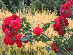 UK - Wales - Denbighshire - Near Froncysyllte - Red roses (julesfoto3) Tags: uk wales centrallondonoutdoorgroup clog denbighshire froncysyllte deevalley roses