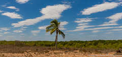 Lone Tree Aussie style (sarahOphoto) Tags: broome lone tree western australia oz down under palm clouds sky nature landscape canon 6d aussie countryside outback
