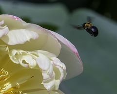 Bee_SAF2167-1 (sara97) Tags: aquaticplant copyright©2018saraannefinke flower floweringplant missouri nature photobysaraannefinke saintlouis towergrovepark towergrovepark2018 urbanpark waterlily bee insect pollinator