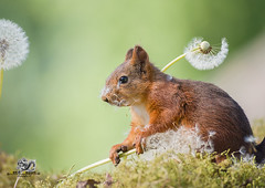 red squirrel with dandelion seeds on head (Geert Weggen) Tags: nature closeup flower macrophotography dandelion image extremecloseup growth plant photography vitality springtime nopeople lightnaturalphenomenon summer singleobject defocused environment formalgarden meadow concepts groupofobjects healthylifestyle selectivefocus daydreaming flowerhead vibrantcolor tranquilscene uncultivated bladeofgrass outdoors horizontal season wildflower beautyinnature blossom conceptstopics fragility freshness seed squirrel red animal stem stalk bispgården jämtland sweden geertweggen geert weggen ragunda hardeko
