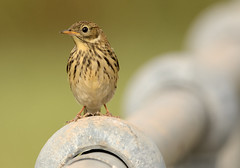 Meadow Pipit (Severnrover) Tags: hy