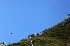 Greifvogel über dem Bergkamm (Süßwassermatrose) Tags: 2018 stilfs stelvio südtirol italien trafoi trafoital trentinoaltoadige nationalpark natur nationalparkstilfserjoch parconazionaledellostelvio himmel berg gras abhang gomagoi wanderung landschaft berge alp blumen grün wolken sommer hiking landscape mountains felsen vogel raubvogel greifvogel
