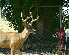 _IGP9970b (forfiv) Tags: digital pentaxk30 wa tamron28200mm grandcoulee color deer