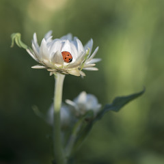 Dans le cœur d'une reine * (Titole) Tags: coccinelle ladybird ladybug titole nicolefaton reinemarguerite asterdechine chinaaster white sunlight green shallowdof friendlychallenges