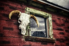 (CTfotomagik) Tags: skull window horns barn rural country wyoming weathered bones decay