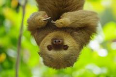 Two Toed Sloth (Hugobian) Tags: costa rica nature wildlife fauna animal pentax k1 two toed sloth diamante eco perk