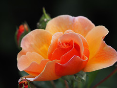 ROSENTAGE 2018 Baden bei Wien (arjuna_zbycho) Tags: badenbeiwien kurstadt luftkurort austria stadt city miasto thermenregion biosphaerenpark niederösterreich österreich rakousko wienerwald doblhoffpark rosengarten róża rose rosas roses róże rosu rosae flower kwiat blume makrofoto macrophoto rosarium الورد biosphaerenparkwienerwald lovers gülsevenler gül trandafir trandafiri زهرة