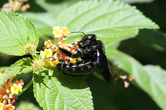 Xylocopa sp. (Carpenter Bee) - Isunga, Uganda (Nick Dean1) Tags: animalia arthropoda arthropod hexapoda hexapod insect insecta hymenoptera bee carpenterbee xylocopa isunga uganda kibalenationalpark kibale
