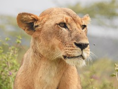 9556ex lookout lioness (jjjj56cp) Tags: lion lioness restinglioness africa kenya bigcats pansing p900 jennypansing carnivores mammals inthewild leo grasslands gazing riftvalley buzzinginsects nakuru fur whiskers portrait lionessportrait watchful