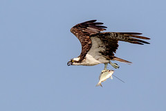 Osprey Inflight with Catch of the Day Pinfish (dbadair) Tags: outdoor seaside shore sea sky water nature wildlife 7dm2 ocean canon florida bird bif flight