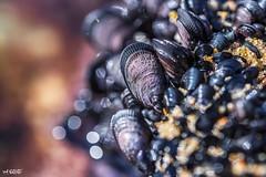 Mussel Up (red stilletto) Tags: phillipisland basscoast capewoolamai capewoolamaibeach capewoolamaibeachphillipisland rockpools seaweed shell shells beach sea ocean