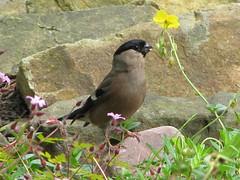 Gimpel (Bullfinch, Pyrrhula pyrrhula), Weibchen (gabyschulemannmaier) Tags: pyrrhulapyrrhula