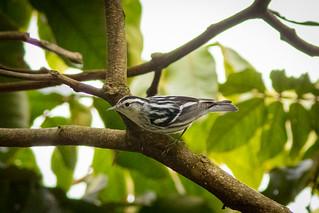 Mniotilta varia (Black-and-white Warbler) female - Parulidae - Finca Lerida, Bajo Mono, Boquete, Chiriqui, Panama-2