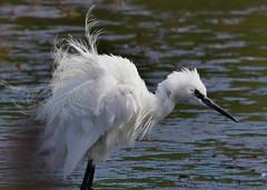 Little Egret (gillybooze) Tags: ©allrightsreserved teleconverter14 600mmf4 bird littleegret birdwatcher egret water feathers wadingbird bokeh wader dof
