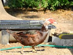 DSCN4234. (jeanchristophelenglet) Tags: écancourtfrancefermedécancourt poulailler chickencoop galinheiro canarddebarbarie muscovyduck patoselvagem