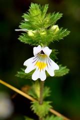 ŚWIETLIK ŁĄKOWY (Euphrasia rostkoviana) 1 (goolary) Tags: flowers beskidy kwiaty przyroda góry