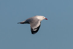 Silver Gull (RoosterMan64) Tags: australia australiannativebird bif bird birdinflight gull nature silvergull wildlife
