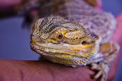 Bearded Dragon (Ellsasha) Tags: pogona beardeddragon reptile educationalambassador rescue rehabilitation subaru lizard macro